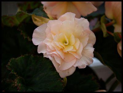 Begonia soft pink