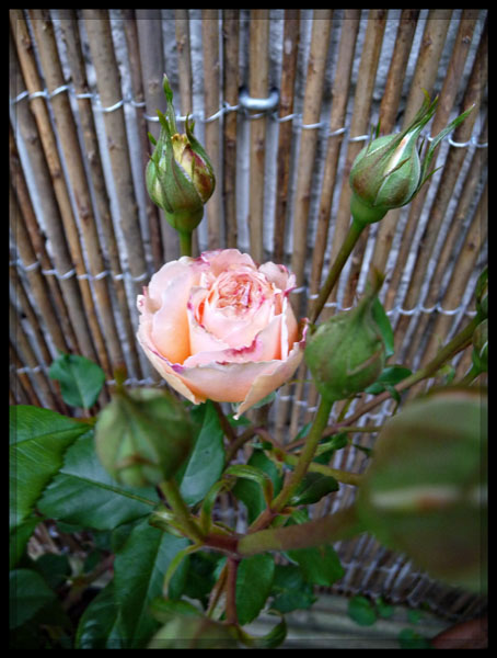 Shropshire Lad rose 2