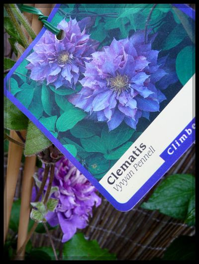 Pennell clematis