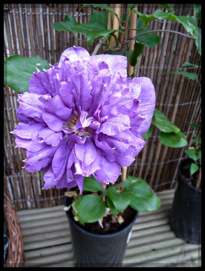 Pennell clematis 2