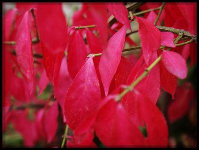 Spindle tree leaves