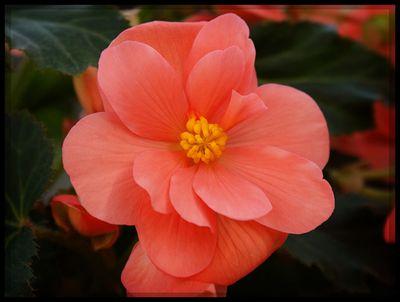 Begonia peach