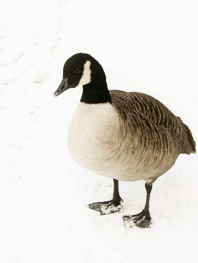 Goosey_sm