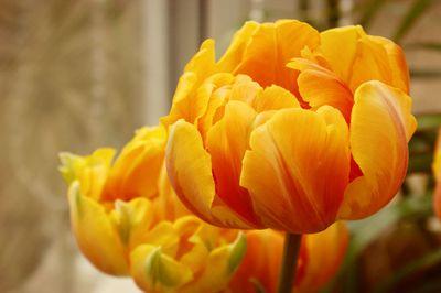 Tulips_sm