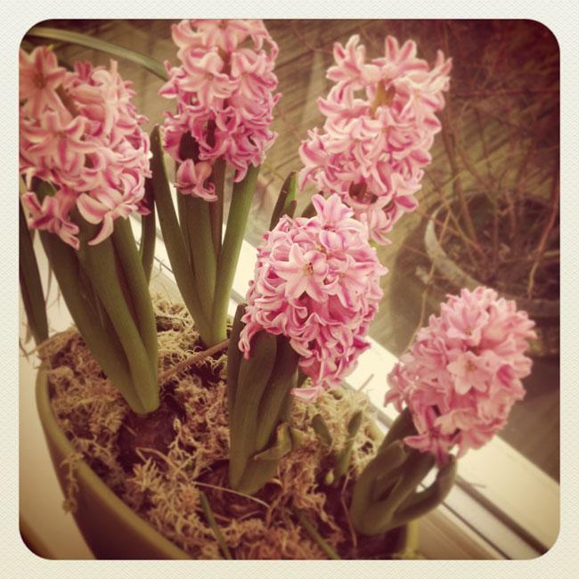 Hyacinth_sm