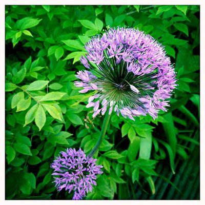 Allium 1_sm