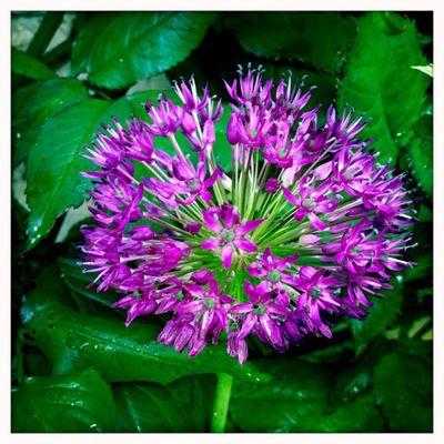 Allium 2_sm
