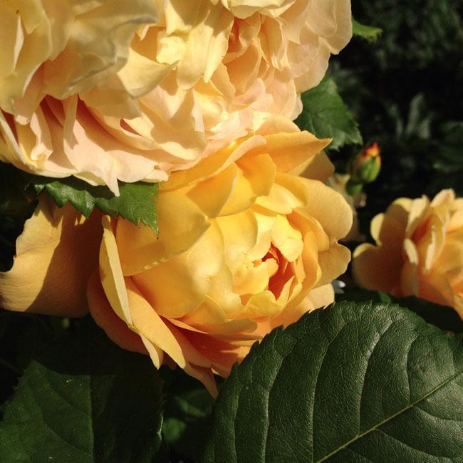 Golden rose_sm