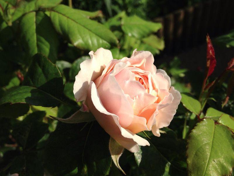 Shepherdess rose_sm