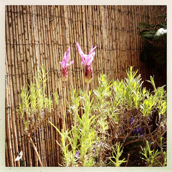 Lavender_sm