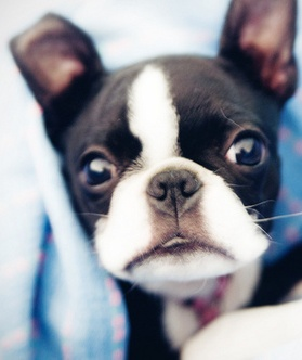 2013-06-27 - Boston terrier