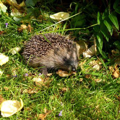 Hello Mr Hedgehog