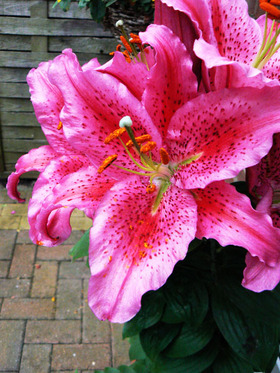 Pink_lily
