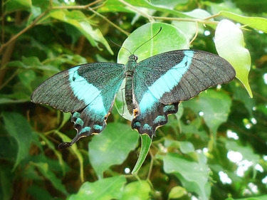Blue_butterfly_small